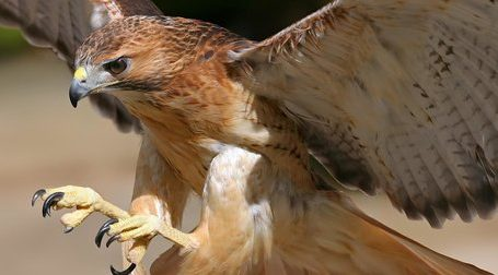 Hawk Strike With Feathers by Kirie Pedersen in Juked